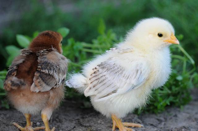 Of friends and chickens