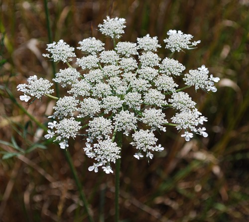 queen anne's lace in flower