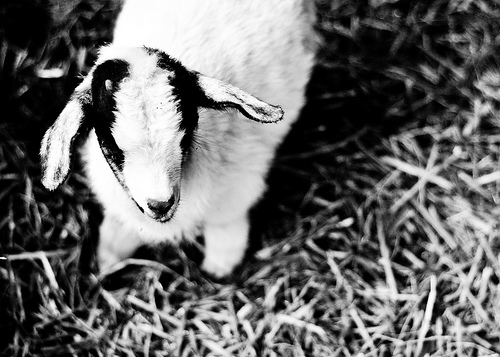 baby goat black and white