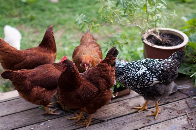 chickens eat violas