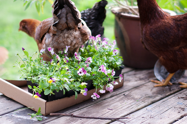 chickens eat violas