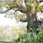 Remarkable Trees of Virginia: Luray chinquapin oak