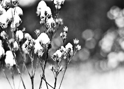 snow flowers_
