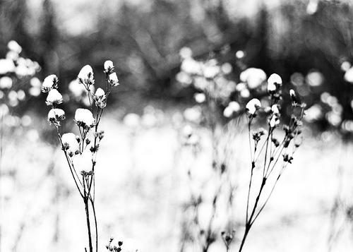 snow flowers 2