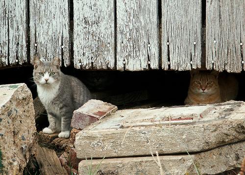 Barn Cats-10
