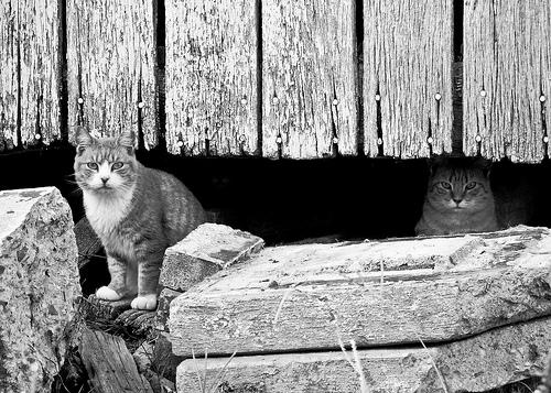 Barn Cats-3