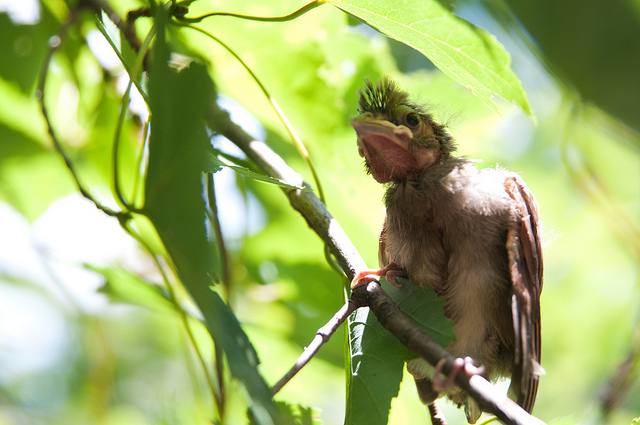 Cardinal fledgling