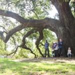 Remarkable Trees of Virginia: The Emancipation Oak