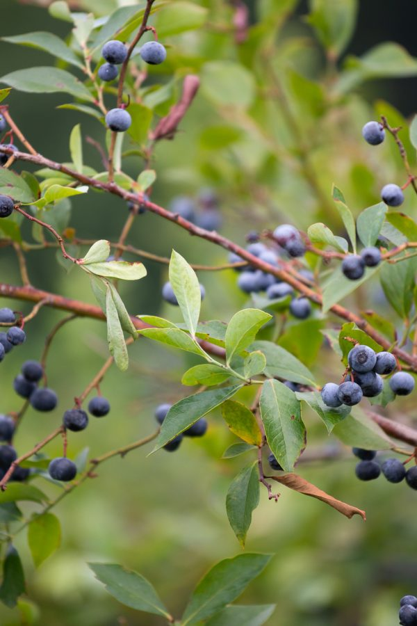 Blueberries and Indigo